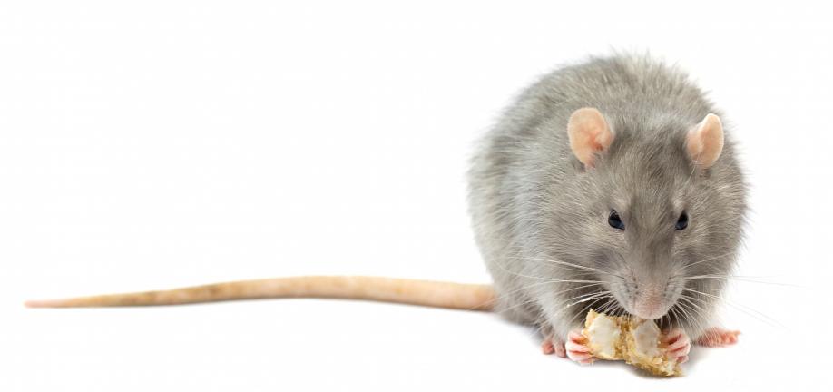 Link til Anmeld rotter